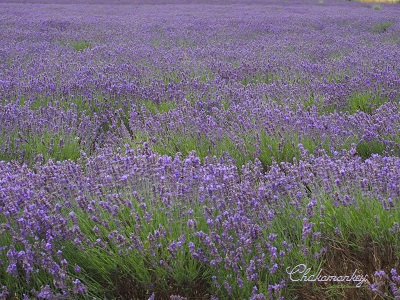 やっと行かれたMayfield Lavender Farm_f0238789_18581736.jpg