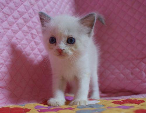 ラグドール7月2日生まれ ブルーポイントバイカラー女の子AちゃんBちゃん_e0033609_23151710.jpg