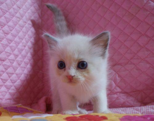 ラグドール7月2日生まれ ブルーポイントバイカラー女の子AちゃんBちゃん_e0033609_2315254.jpg