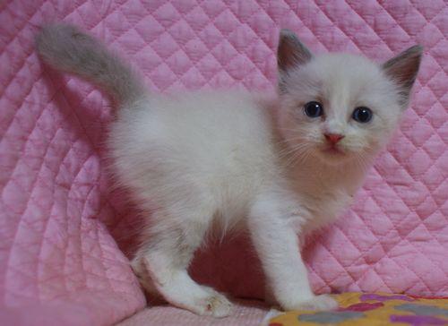 ラグドール7月2日生まれ ブルーポイントバイカラー女の子AちゃんBちゃん_e0033609_23163392.jpg