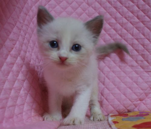 ラグドール7月2日生まれ ブルーポイントバイカラー女の子AちゃんBちゃん_e0033609_23165571.jpg
