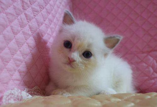 ラグドール子猫7月2日うまれ 男の子4匹_e0033609_23405676.jpg