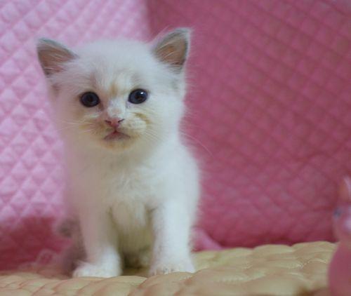 ラグドール子猫7月2日うまれ 男の子4匹_e0033609_23434441.jpg