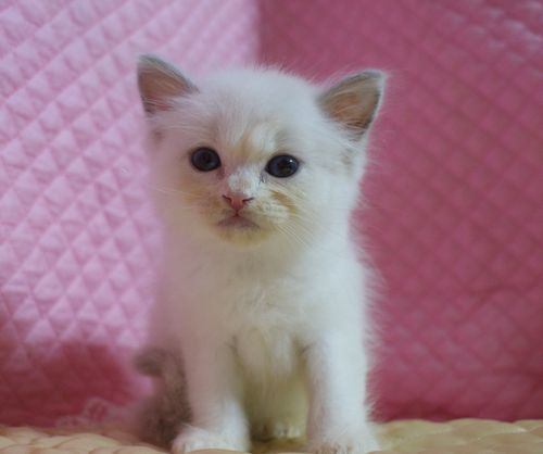 ラグドール子猫7月2日うまれ 男の子4匹_e0033609_2344823.jpg