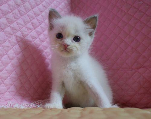 ラグドール子猫7月2日うまれ 男の子4匹_e0033609_23482949.jpg