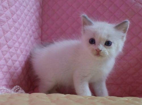 ラグドール子猫7月2日うまれ 男の子4匹_e0033609_23521588.jpg