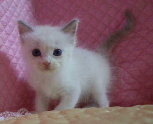 ラグドール子猫7月2日うまれ 男の子4匹_e0033609_23523312.jpg