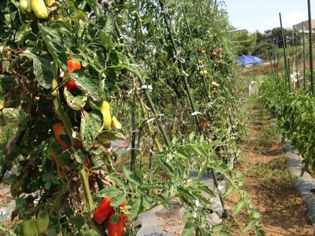 トマトに給水 24日ぶり 雨が恋しい_c0222448_15195838.jpg