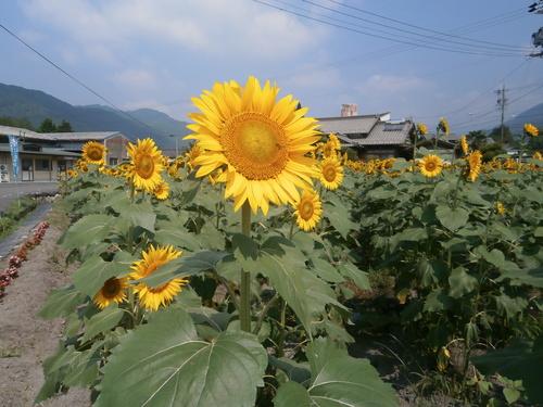 ひまわりの花が咲きました_c0238069_1351672.jpg