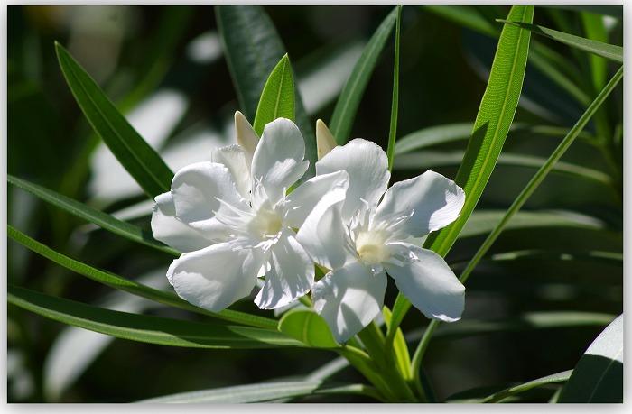 夾竹桃が咲く_d0147812_17154239.jpg