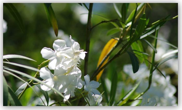 夾竹桃が咲く_d0147812_17231618.jpg
