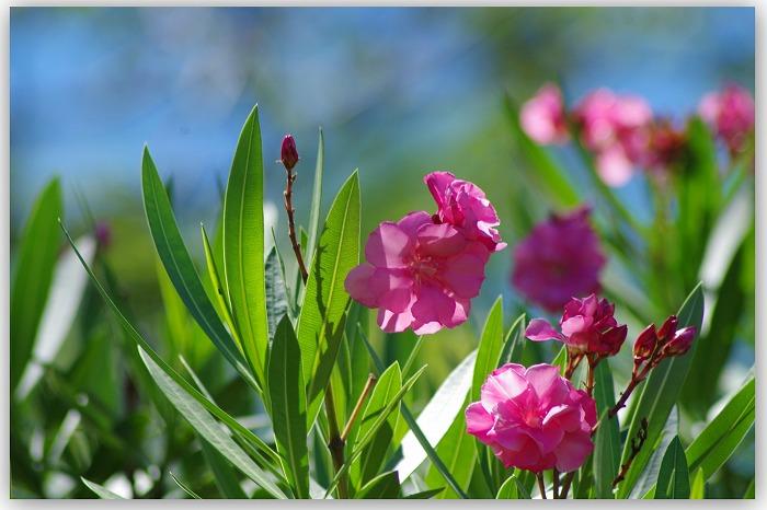 夾竹桃が咲く_d0147812_1725115.jpg
