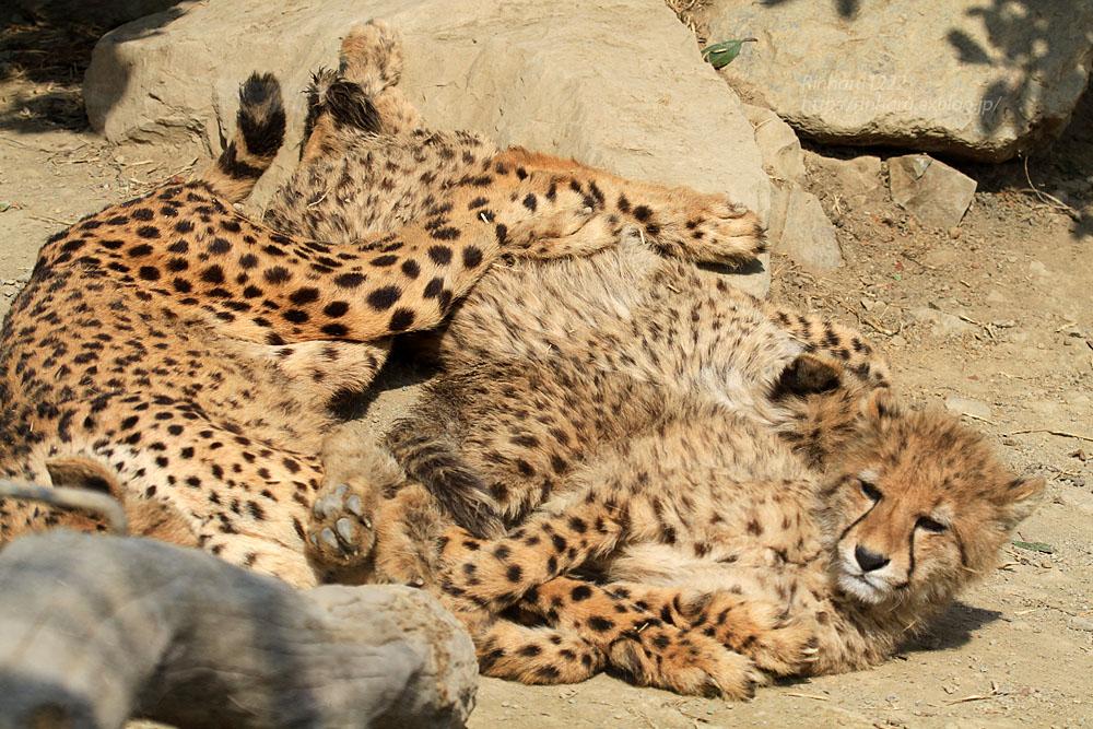 2015.2.22 群馬サファリパーク☆チーター子供たち【Cheetah】_f0250322_21405968.jpg