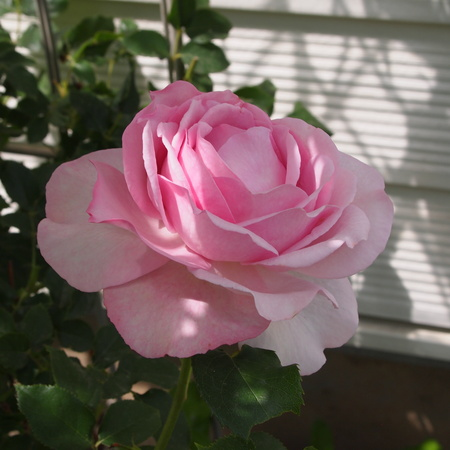 春のお花と夏のお花_a0292194_15215284.jpg