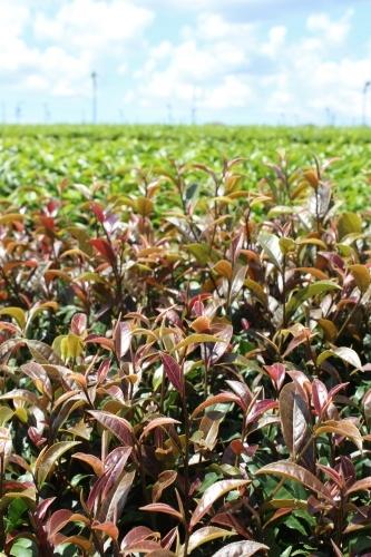 夏の茶摘みは暑いです_b0220318_00103285.jpg