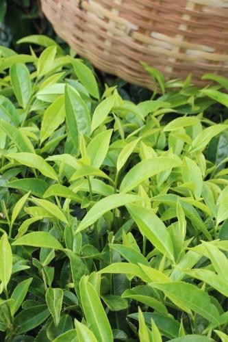 夏の茶摘みは暑いです_b0220318_00144521.jpg