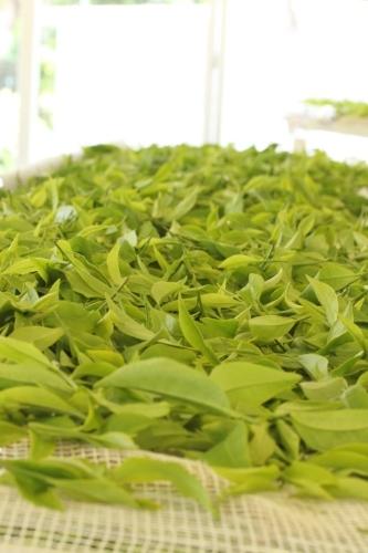 夏の茶摘みは暑いです_b0220318_00151410.jpg