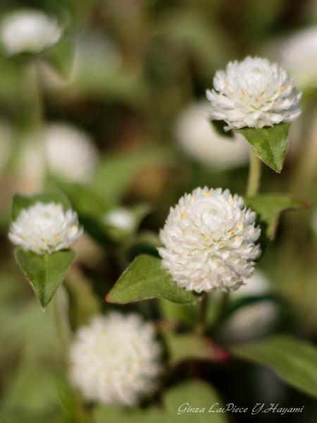 花のある風景 センニチコウ_b0133053_1274543.jpg