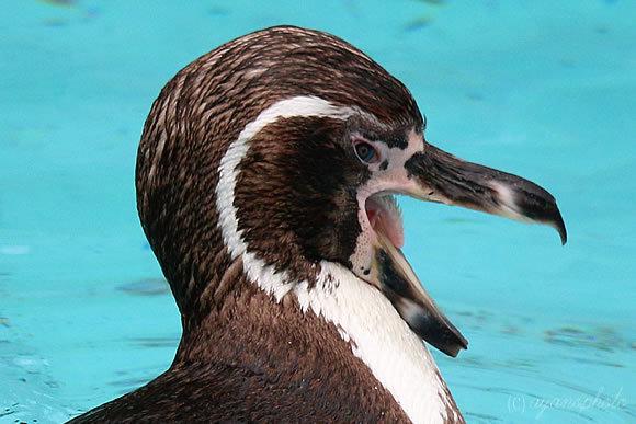 のいち動物公園のフンボルトペンギン