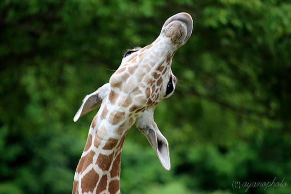 のいち動物公園のアミメキリンの喉