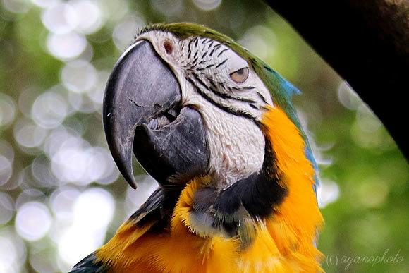 のいち動物公園のルリコンゴウインコ