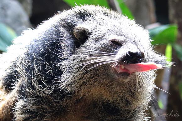 のいち動物公園のビントロングの長い舌