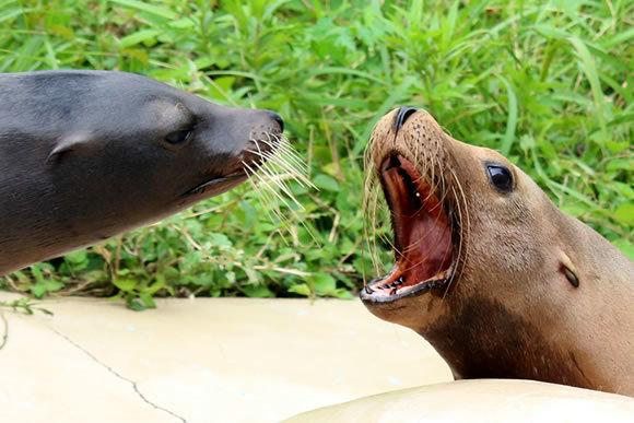 のいち動物公園のカルフォニアアシカの喧嘩