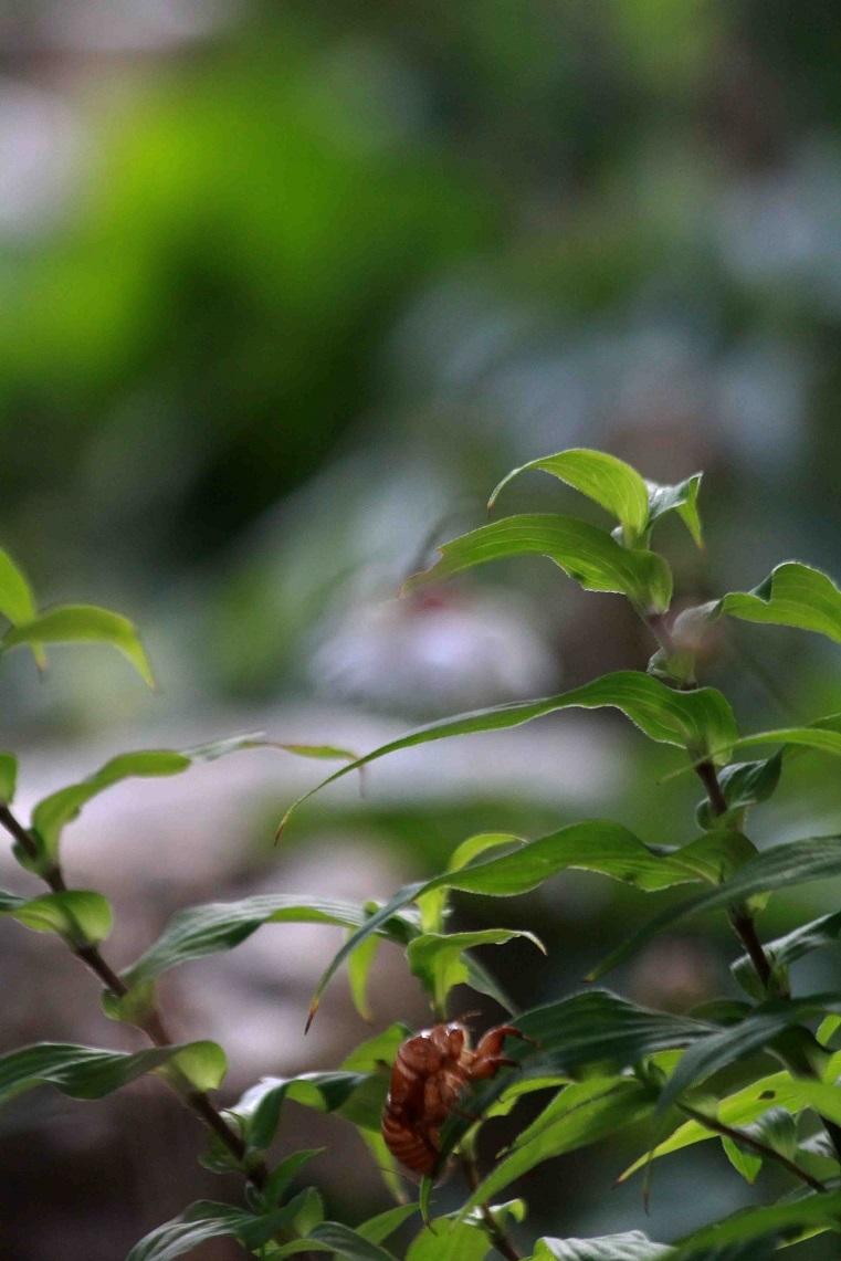 蝉のぬけがらに思う ~ミソハギ、ロシアンセージ、レンゲショウマ~_a0107574_14580364.jpg