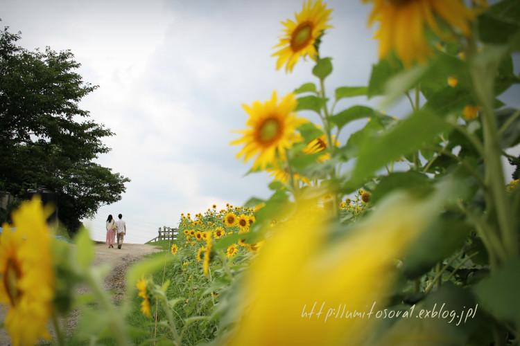 向日葵の咲く小道_b0324291_01452866.jpg