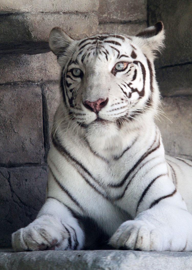 2015.7.19 東武動物公園☆ホワイトタイガーのカーラ【White tiger】_f0250322_2283565.jpg