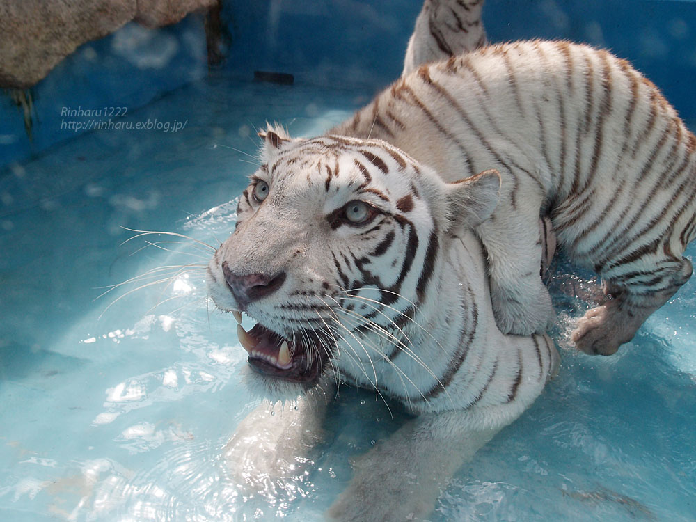2015.7.19 東武動物公園☆ホワイトタイガーのカーラ【White tiger】_f0250322_2285194.jpg