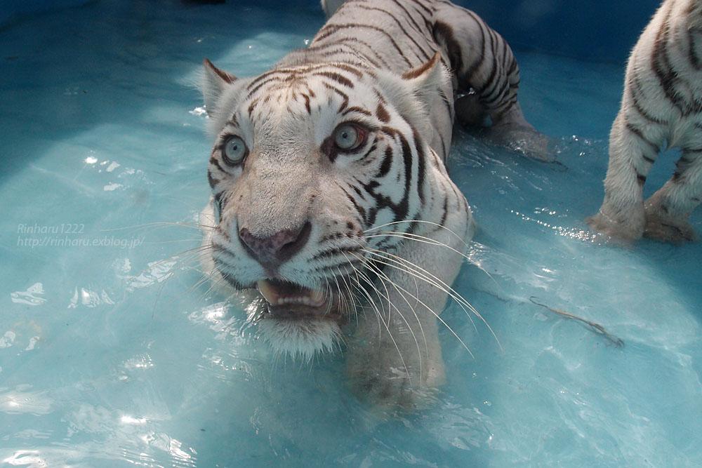 2015.7.19 東武動物公園☆ホワイトタイガーのカーラ【White tiger】_f0250322_2285541.jpg