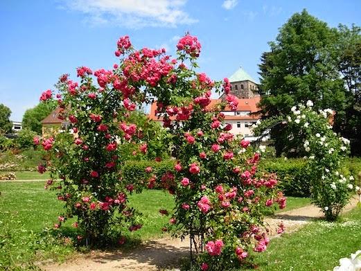 バラの季節 _c0229584_22214279.jpg
