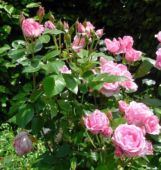 バラの季節 _c0229584_22233683.jpg