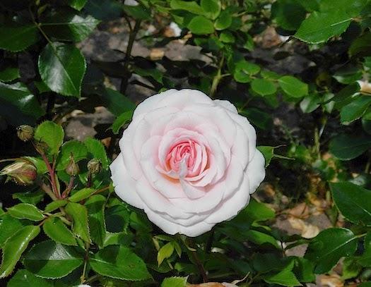バラの季節 _c0229584_22242490.jpg