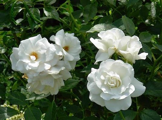 バラの季節 _c0229584_2225865.jpg
