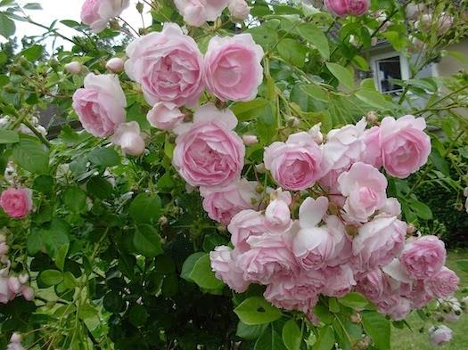 バラの季節 _c0229584_2250443.jpg