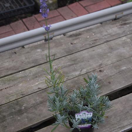 ポットのオカムラサキをお庭に植えると。。。_a0292194_1033545.jpg