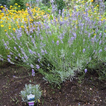 ポットのオカムラサキをお庭に植えると。。。_a0292194_10394679.jpg