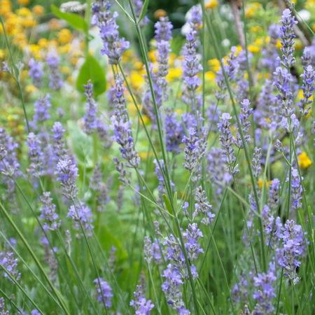 ポットのオカムラサキをお庭に植えると。。。_a0292194_10423880.jpg