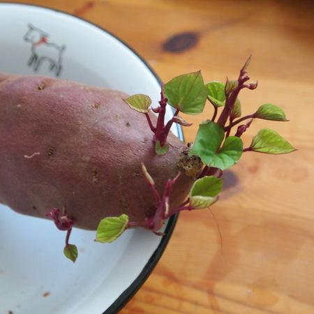サツマイモ、早く食べるべきでした。。。_a0292194_1695465.jpg