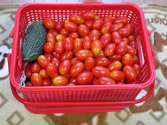 150809 トマト大収穫2_d0036883_201721.jpg