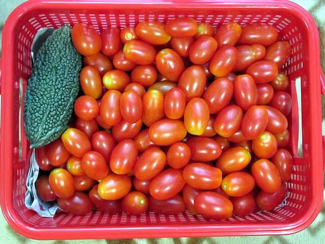 150809 トマト大収穫2_d0036883_2031347.jpg