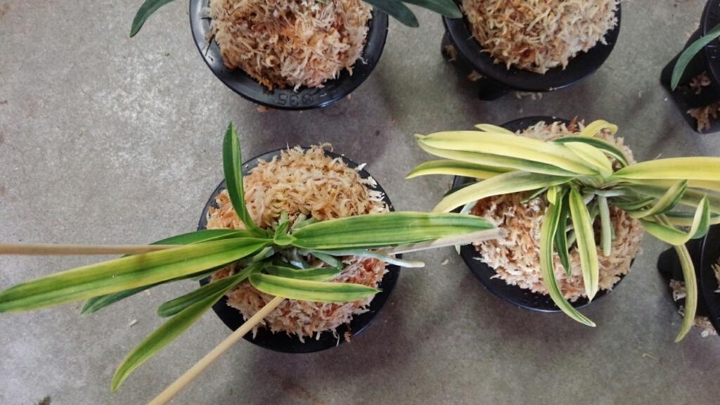 今日は富貴蘭を10鉢ほど植え替えました。_f0356792_17035236.jpg
