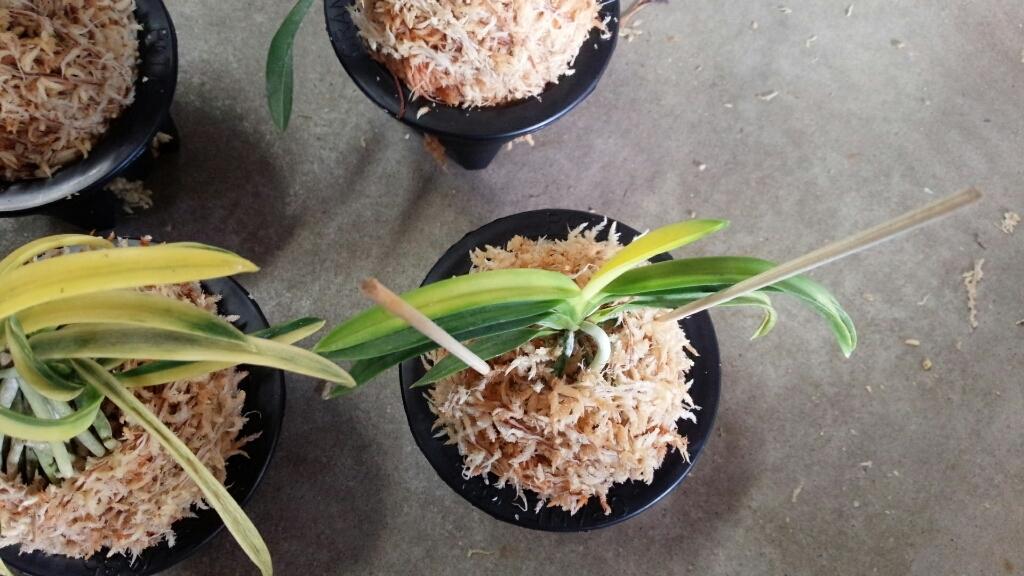 今日は富貴蘭を10鉢ほど植え替えました。_f0356792_17035719.jpg