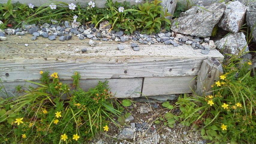 8月10日。朝の気温が15℃。雲海荘入り口横には ソバナがたくさん!階段にも寄せ植えしたような見映えのいい花達が並んでいます。キレンゲショウマも花が立派な様子。今年は花がいいのかも(^^)人(^^)_c0089831_6173852.jpg