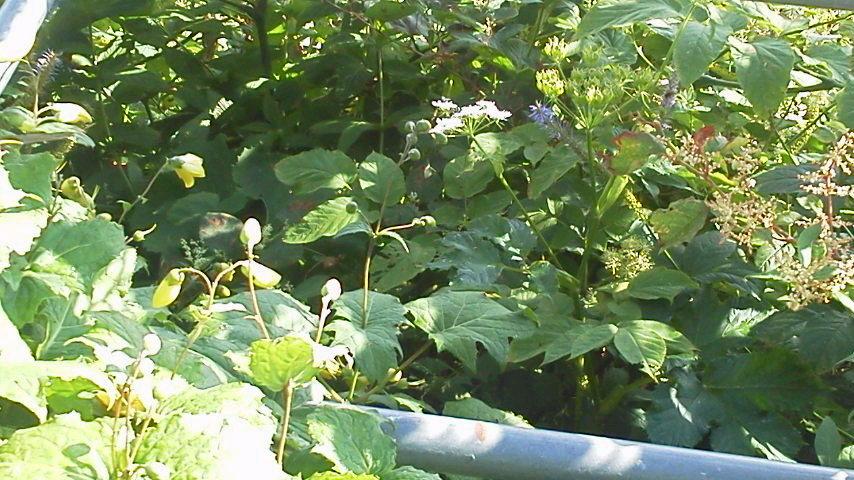 8月10日。朝の気温が15℃。雲海荘入り口横には ソバナがたくさん!階段にも寄せ植えしたような見映えのいい花達が並んでいます。キレンゲショウマも花が立派な様子。今年は花がいいのかも(^^)人(^^)_c0089831_6173899.jpg