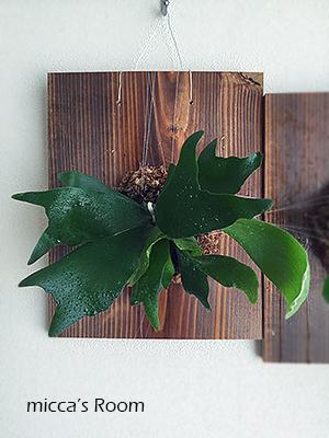 ビカクシダを板付にするその2とウンベラータの樹形を調整_b0245038_09280363.jpg