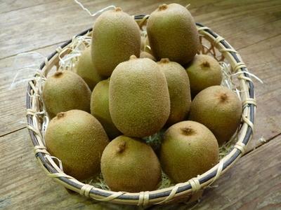 水源キウイ 11月中旬からの収穫に向け、しっかりと手をかけ育てます!キウイフルーツは冬の果物です!_a0254656_16532935.jpg