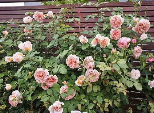 薔薇の2番花と芝生の上の福丸さん_f0205733_01023053.jpg